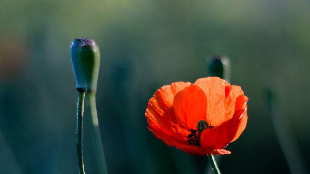 Pąki kwiatów