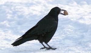 Ilustracja ptaka będącego tematem tegorocznego Zimowego Ptakoliczenia